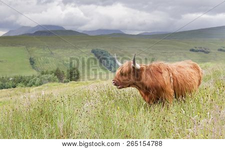 Landscape Of The Scottish Highlands With A Long Haired Bull In Green Grass