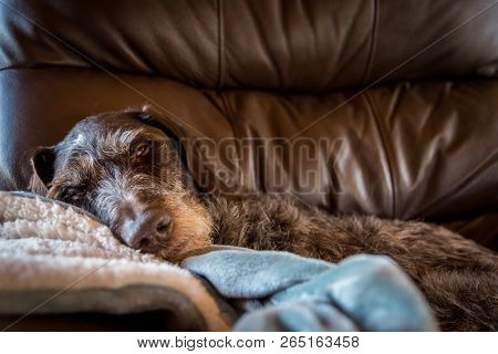 Dog Taking Nap In Big Leather Chair Looking Very Confortable