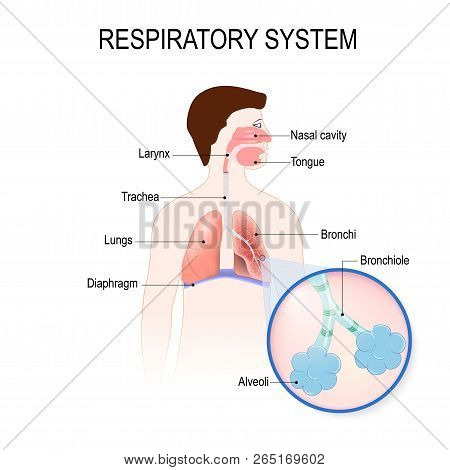 Respiratory System: Bronchiole And Bronchi, Diaphragm, Trachea, Alveoli And Cross-section Of The Lun