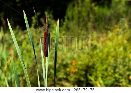 Green Forest Cat Tails And Leaves Growing With Space For Text To Be Written