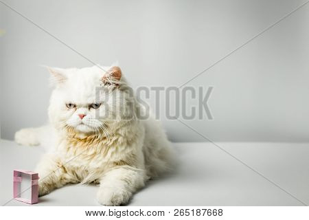 White Persian Cat With Wool That Frown And Gift Box On White Background.