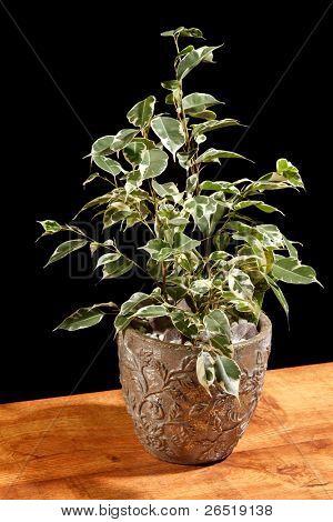 ficus in the pot