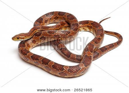 Classical Corn Snake or Red Rat Snake, Pantherophis guttatus, in front of white background poster