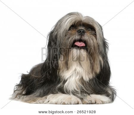 Shih Tzu, 5 years old, lying in front of white background