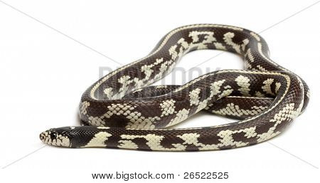 Abberant eastern kingsnake or common kingsnake, Lampropeltis getula californiae, in front of white background