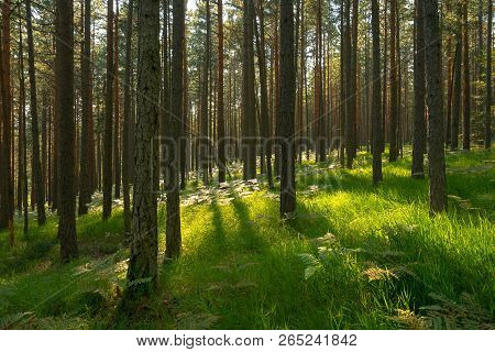 Morning In Pine Forest. Forest Landscape, Pine Trees In Green Forest Nature. Forest Pines Nature. Gr