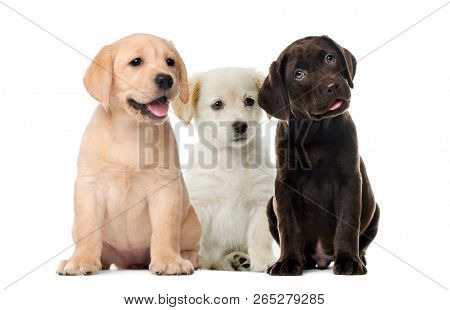 Groups of dogs, Labrador puppies, Puppy chocolate Labrador Retriever, in front of white background
