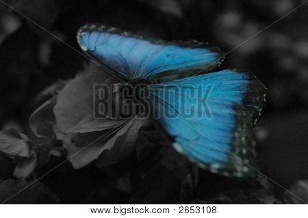 A Morpho Peleides Limpida Butterfly