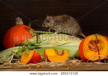 Brown Rat  (rattus Norvegicus) Climbs On Corn Near Orange Pumpkin Inside  Of  Warehouse.