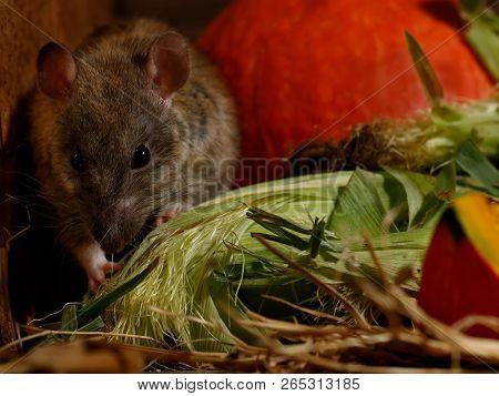 Close-up Rat  (rattus Norvegicus) Sits In The Corner Near Orange Pumpkin Inside  Of  Pantry.small Do