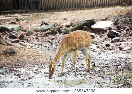 Eld's Deer Or Thamin Or Brow-antlered Deer In Cage At Public Park In Bangkok, Thailand