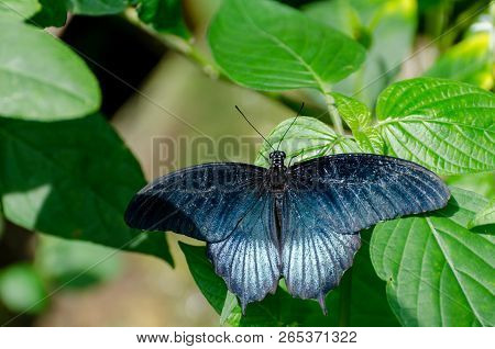 Papilio Memnon, The Great Mormon Butterfly, With Green Vegetation Background