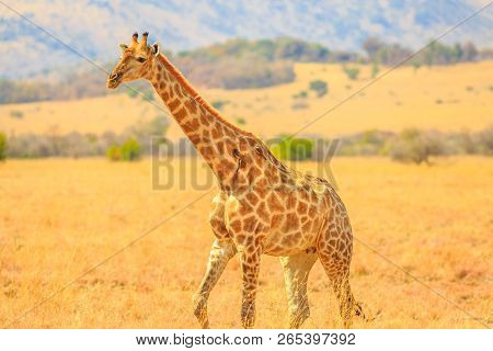 Side View Of African Giraffe Walks In Pilanesberg National Park With Savannah Landscape On Blurred B