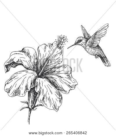 Hand Drawn Monochrome Humming Bird And Hibiscus. Black And White Illustration With Flying Small Humm