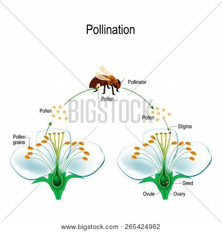 The Process Of Cross-pollination Using An Animal Of Pollinator (bee). Anatomy Of A Flower. Flower Pa