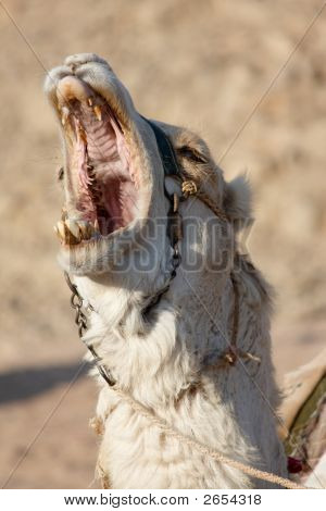 Bawling Camel With Open Mouth Full Of Big Teeth