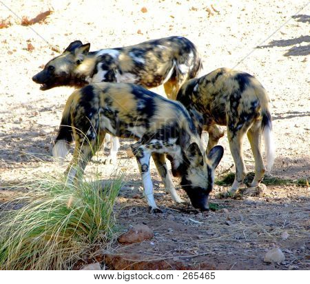 poster of Three African Wild dogs in the zoo.