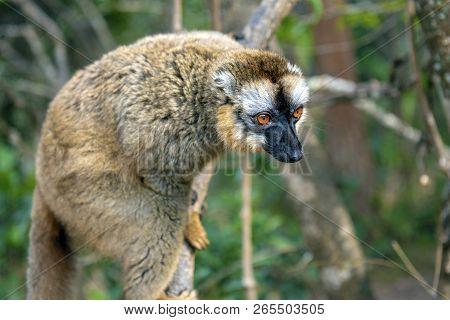 Common Brown Lemur - Red Lemur (eulemur Rufus), Portrait.endangered, Endemic..madagascar.
