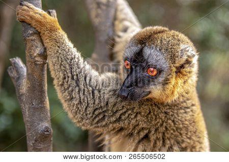 Common Brown Lemur - Red Lemur (eulemur Rufus), Portrait.endangered, Endemic.
