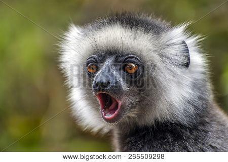 Diademed Sifaka. Diadema, Endemic, Endengered. Rare Lemur,close Up, Portrait.(propithecus Diadema),m