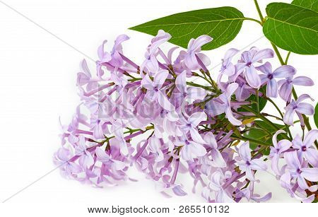 Blossom Lilac Bunch Isolated On White Background