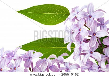 Lilac Flowers With Leaves Spring Blossom Closeup Isolated