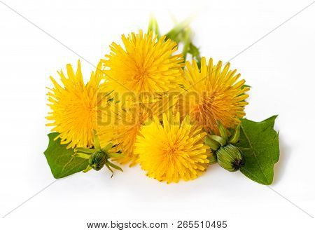 Yellow Dandelion Flowers (taraxacum Officinale). Dandelions Isolated On White Background. Blooming D