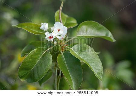 Branches Of A Blossoming Pear In The Garden In Spring