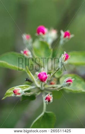 Branches Of A Blossoming Apple Tree In A Spring Garden, Nature Background With Selective Focus