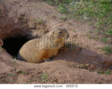 poster of prairie dog coming out of his barrow
