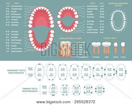 Tooth Anatomy Chart. Orthodontist Human Teeth Loss Diagram, Dental Scheme And Orthodontics Medical V