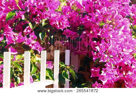 Pink Bougainvillea Bush Entwining A White Woooden Fence