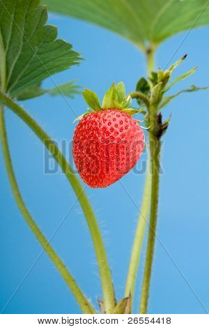 Fresh strawberry object on a blue backgroundand