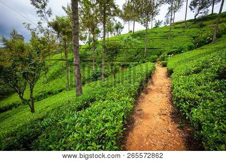 Nature Trees And Hills. Tea Plantation, Sri Lanka Hills With Grass And Trees. Natural Panorama.
