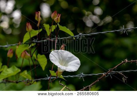 Morning Glory Growing On A Barbed Wire Fence With Darkness Beyond