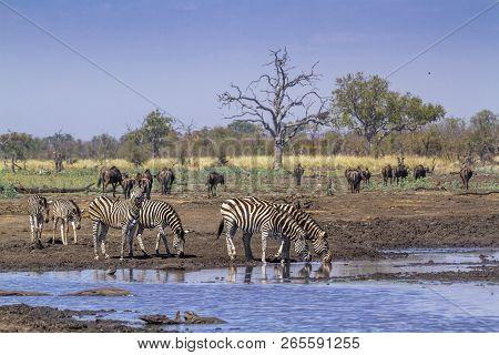 Plains Zebra In Kruger National Park, South Africa ; Specie Equus Quagga Burchellii Family Of Equida