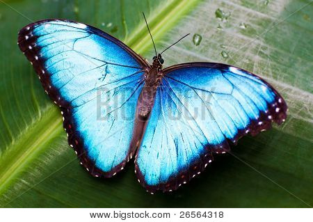 Beautiful blue butterfly on a wet green leave poster