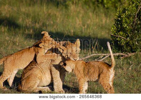 Lion Cubs With Mother - Masai Mara - Kenya