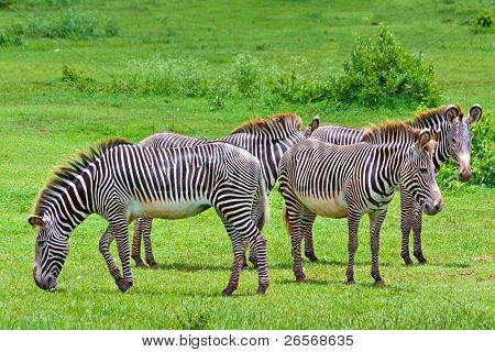 Harem of wild zebras in a tropical savanna