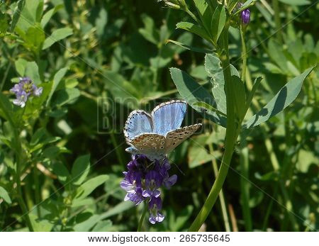 Osiris Blue Butterfly In The Mountains Of Italy