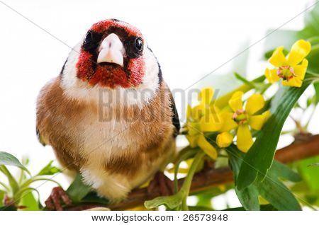 Goldfinch sitting on a branch of blossom tree in spring poster