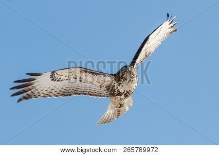 Colorado Wildlife - Red-tailed Hawk Flying In A Clear Blue Sky