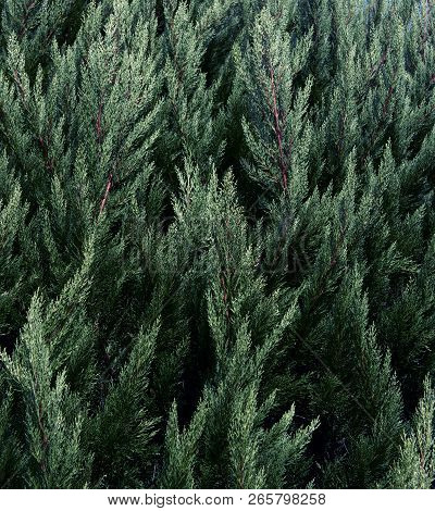 Coniferous Branches. Coniferous Tree Of Background Texture. Wood Texture.