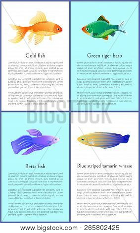 Gold And Betta Fishes Colorful Vector Banners Set, Illustration Of Green Tiger Barb And Blue Striped