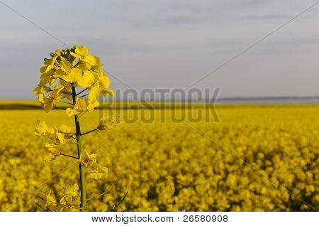Detail Of Yellow Rapseed (brassica Napus) Flower With Rapeseed Field