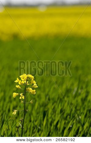 Yellow Rapeseed Flower On Green Wheat Background