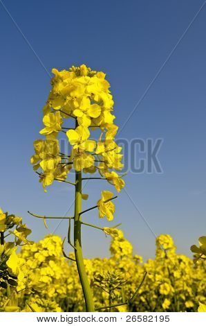 Yellow Rapeseed Flower On Blue Sky Background