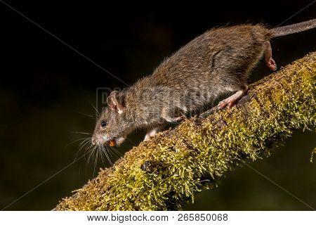 Wild Brown Rat (rattus Norvegicus) Running On Log With Stolen Nut At Night. High Speed Photography I
