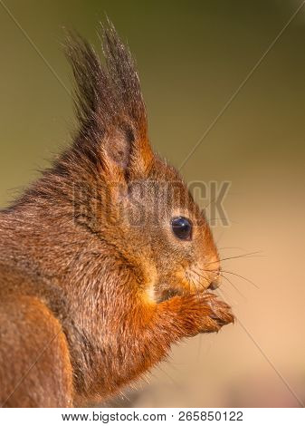 Red Squirrel (sciurus Vulgaris) Close Up Sideview Head Portrait On Green Background