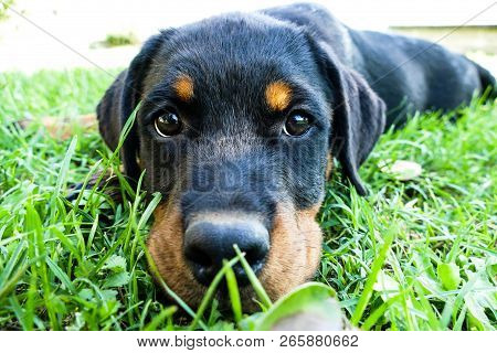 Rottweiler Puppy Portrait. Cute Dog Lying Outdoors And Looking With His Big Faithful Eyes On The Cam